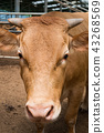 한우, 소, 황소 43268569