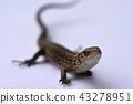 Lizard, predator, hunting, reptiles, salamander 43278951