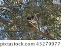 koala bear, koala, animal 43279977