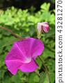 牽牛花 旋花科 植物 43281270