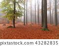 Beech forest in autumn 43282835