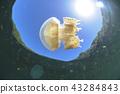 鈀金合金 水母湖 水母 43284843