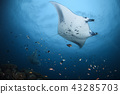 Manta at the Maldives 43285703