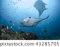 Manta at the Maldives 43285705