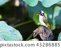 bird standing alone on a lotus leaf 43286885