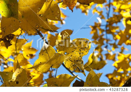 yellow maple leaf on a background of blue sky 43287328