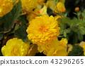 Calendula flower 43296265