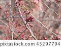 Bud of Sakura (Cherry blossoms). 43297794