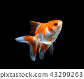 goldfish isolated on a dark black background 43299263