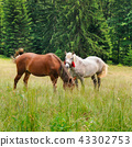 beautiful horses are grazing in a  meadow. 43302753
