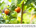 สวนผักในครัวเรือน (มะเขือเทศขนาดเล็ก) 43305026