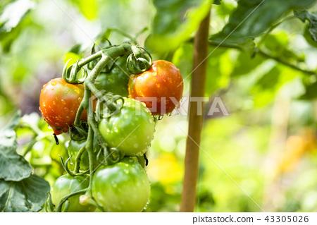 家庭菜園(迷你番茄) 43305026