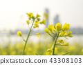 유채꽃밭에서 43308103