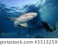 鯊魚 戴水肺潛水 海 43313259