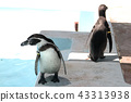 걷는 Humboldt 펭귄 | 펭귄의 사진 수족관 | PENGUIN 43313938