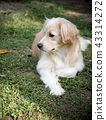 cute lovely white long hair handsome young dog 43314272
