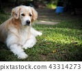 cute lovely white long hair handsome young dog 43314273