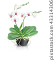 white phalaenopsis orchid in black ceramic vase 43314306