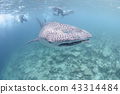 Whale shark at the Maldives 43314484