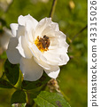 two bees on the white rose in the sunlight 43315026
