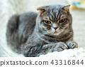고양이, 초상화, 얼굴 43316844