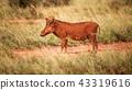 Desert warthog (Phacochoerus aethiopicus)  43319616