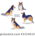 Shetland Sheepdog 43324610