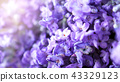 Close-up or macro images of Japan lavender 43329123