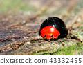 瓢蟲 甲殼蟲 昆蟲 43332455