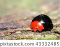 瓢蟲 甲殼蟲 昆蟲 43332485