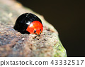 瓢蟲 甲殼蟲 昆蟲 43332517