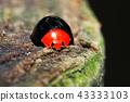 瓢蟲 甲殼蟲 昆蟲 43333103