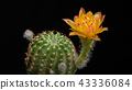 Blooming Cactus Flower Lobivia Hybrid Yellow Color 43336084