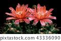Blooming Cactus Flower Gymnocalycium Baldianum Red 43336090