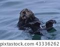 Sea Otter 11 (ฮอกไกโด) 43336262
