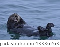 海獺 鼬鼠 海面 43336263