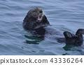 海獺 鼬鼠 海面 43336264