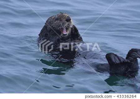 Sea Otter 9 (Hokkaido) 43336264