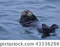 Sea Otter 7 (ฮอกไกโด) 43336266
