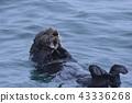 海獺 鼬鼠 海面 43336268