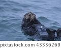 Sea Otter 4 (ฮอกไกโด) 43336269