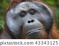 Close-up of male Orangutan in Borneo, Indonesia 43343125