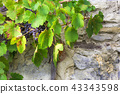 Grapevine with grapes grown on the wall 43343598