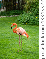 Beautiful pink Caribbean flamingo 43345522