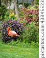 Beautiful pink Caribbean flamingo 43345523
