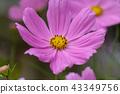 cosmos, cosmea, bloom 43349756