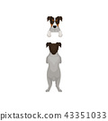 dog, jack, russell 43351033
