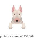bull, terrier, dog 43351066