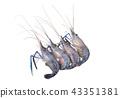 Giant freshwater prawn, Fresh shrimp isolate  43351381