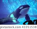 범고래와의 만남 (나고야 항 수족관) 43351538